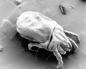 dust mite allergy and chronic cough - 1